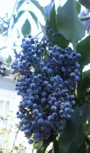 Elderberry tree