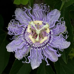 512px-OQ_Passion_flower